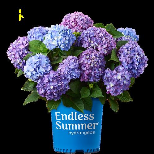 Hydrangea, 'BloomStruck®' 3G