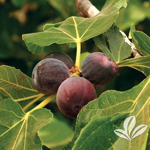 Fig, 'Brown Turkey' 5G