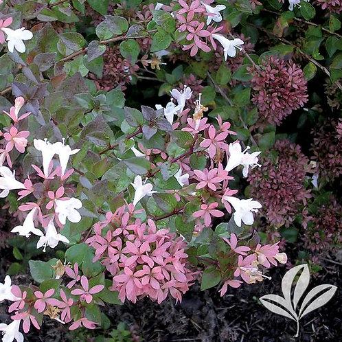 Abelia, 'Rose Creek' 3G