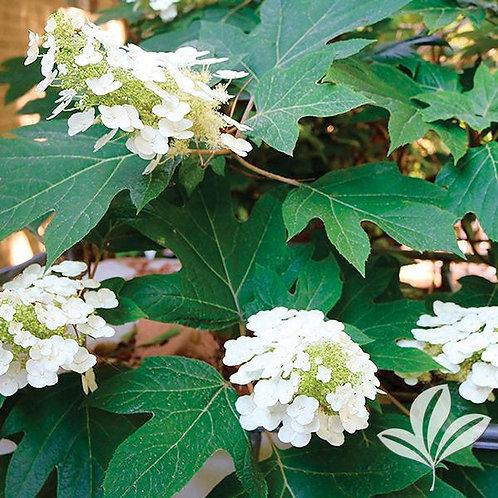 Hydrangea, Oakleaf (multiple sizes)