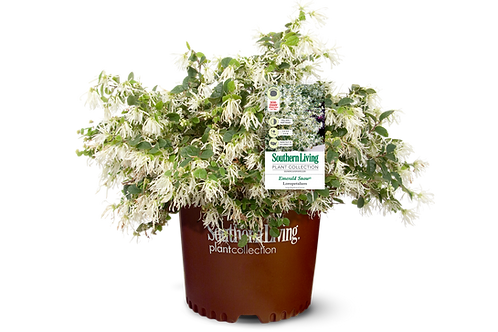 Loropetalum, 'Emerald Snow®' 3G
