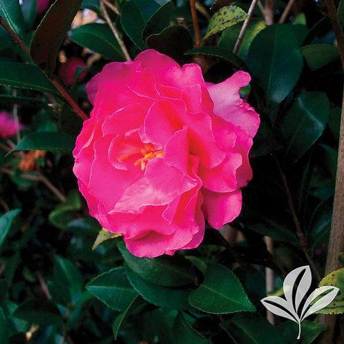 Camellia Sasanqua, 'Rose of Autumn' (multiple sizes)