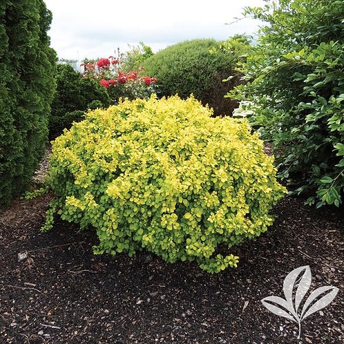 Barberry, 'Tiny Gold' 3G