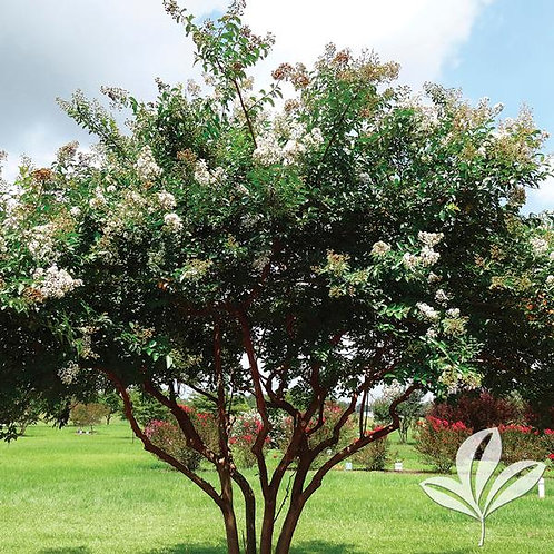 Crape Myrtle, 'Natchez' (multiple sizes)