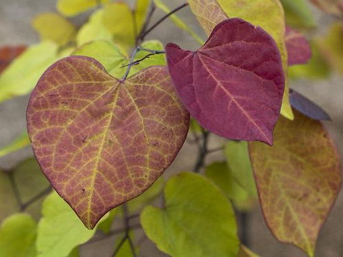 Cercis Canadensis 'Flame Thrower®'15G