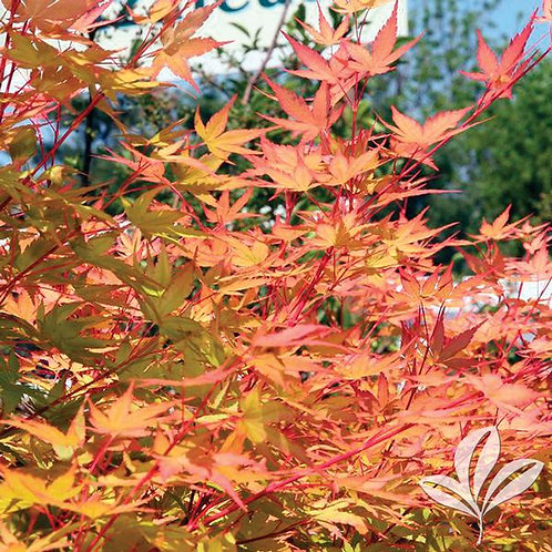 Japanese Maple,, 'Sangu Kaku' Jr Specimen