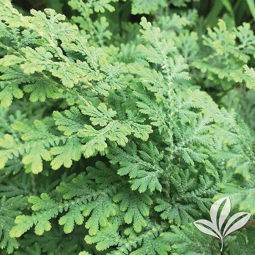 Fern, Arborvitae 1G