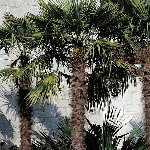 Palm, Windmill (multiple sizes)