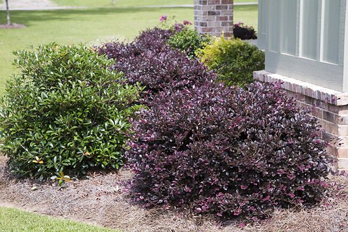 Loropetalum, 'Purple Diamond®' 3G