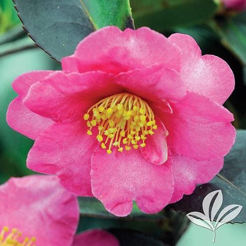 Camellia Sasanqua, 'Kanjiro' (multiple sizes)