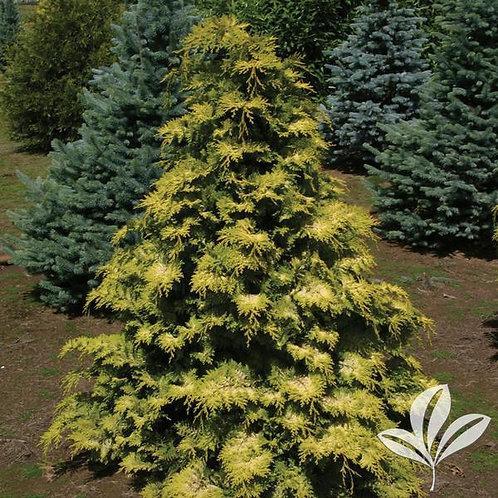 Cypress, Crippsi 5'