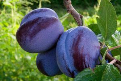 Plum, Fruit Tree 'Damson' 5G