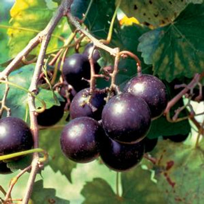 Muscadine, 'Southern Jewel' 2G Ladder
