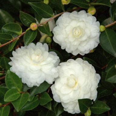 Camellia Sasanqua, 'October Magic® White Shi-Shi™' (multiple sizes)