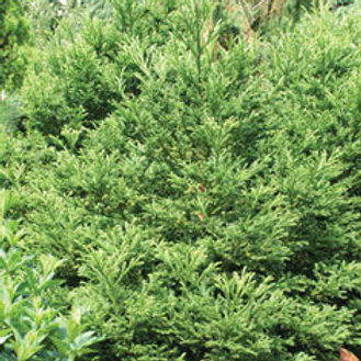 Cryptomeria, 'Yoshino' 9-10'