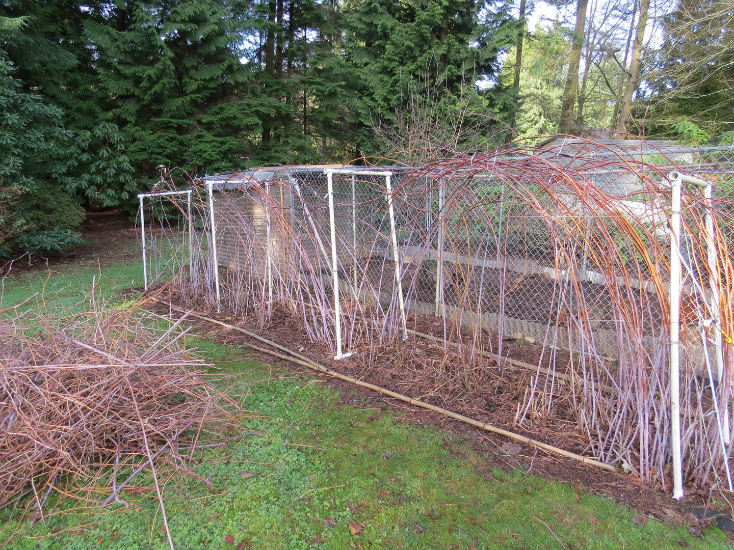 November is a great time to prune spent canes and arch this year's new growth.  Use zip ties and arch them side to side and front to back. All those leaders get heavy and need stability.