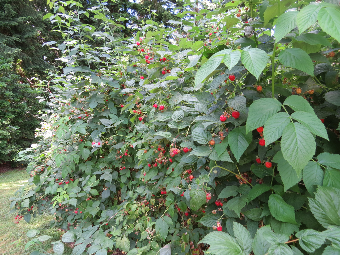 These are prolific berries.
