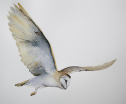 the wild swans | barn owl in flight
