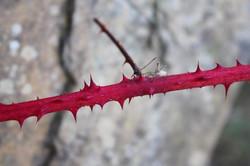 red thorn walk
