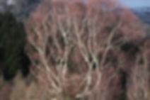 coral tree.jpg