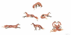 red foxes II
