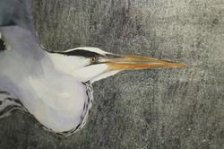 heron detail