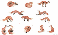 red foxes I