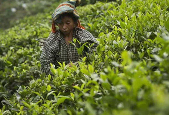 """Crop outlook for the Tea Industry looks bleak: Tea Association of India"""