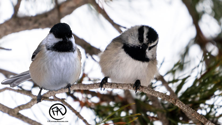 Black-capped Chickadee vs Mountain Chickadee