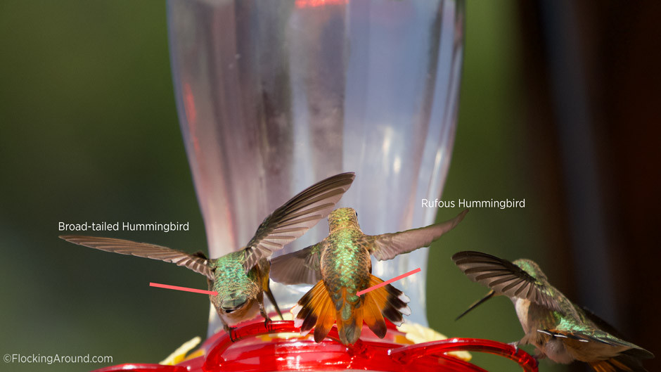 Broad-tailed Hummingbird rump vs Rufous Hummingbird Rump