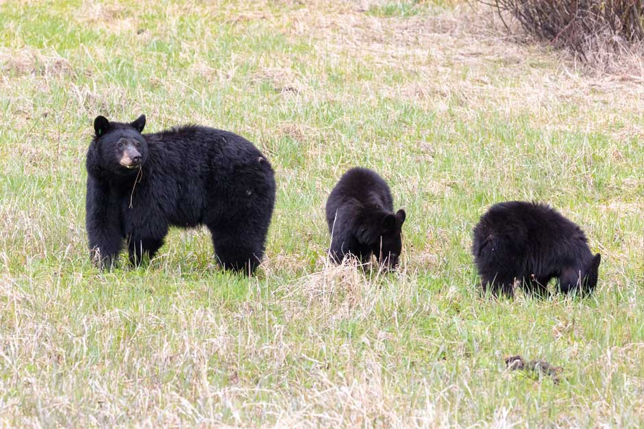 Black bear sow and cubs. Photo: NPS/Corrie Frank