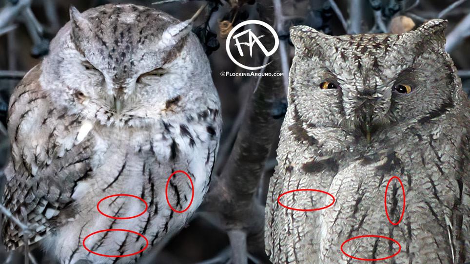 Eastern Screech Owl vs Western Screech-Owl