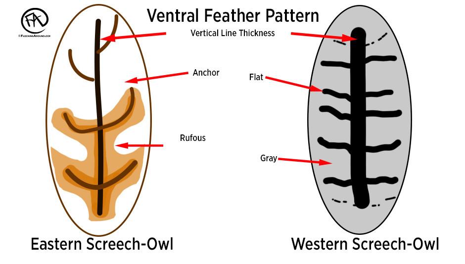 """Rufous morph"" Eastern Screech-Owl vs typical Western Screech-Owl."