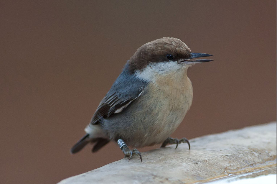 Brown-headed Nuthatch - It is banded!