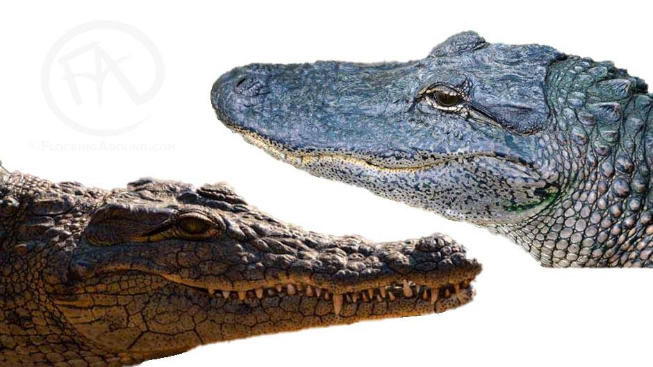 Nile crocodile head shape vs American alligator head shape