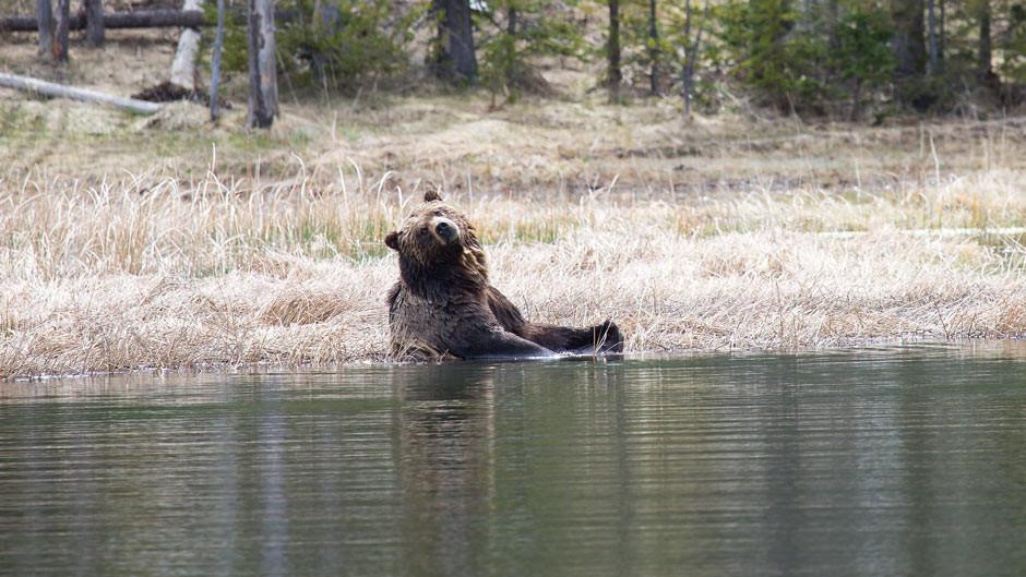 Grizzly bear taking a bath. Photo: NPS/Neal Herbert