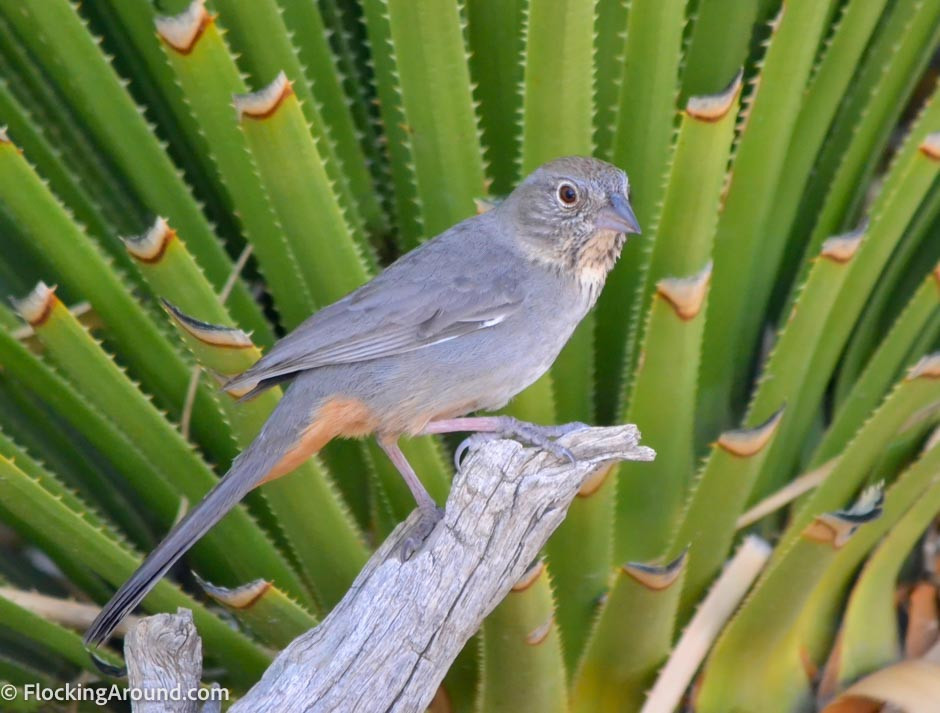 Canyon Towhee in Big Bend National Park