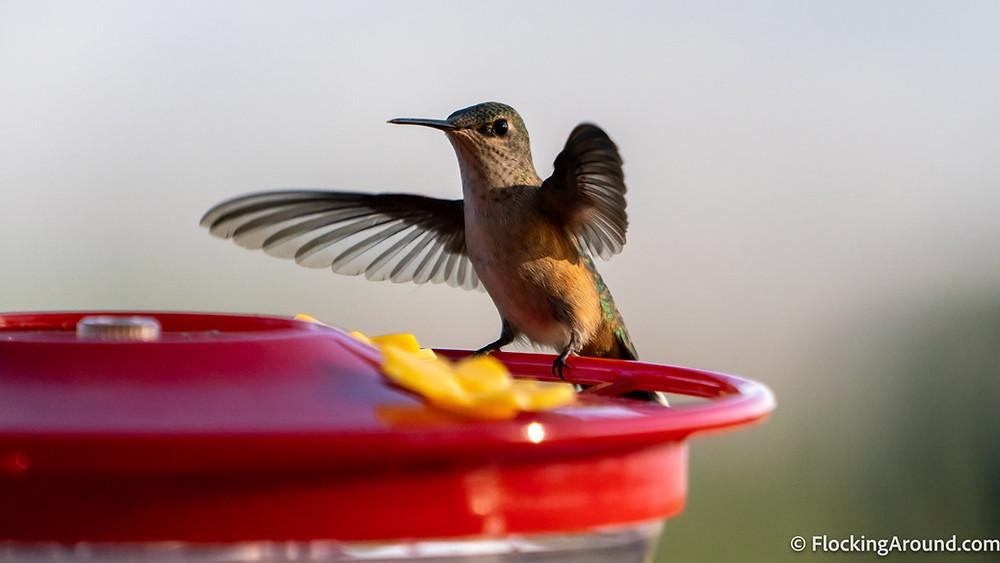 A Broad-tailed Hummingbird sits on a hummingbird feeder.