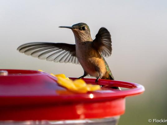 When should I hang my hummingbird feeders?