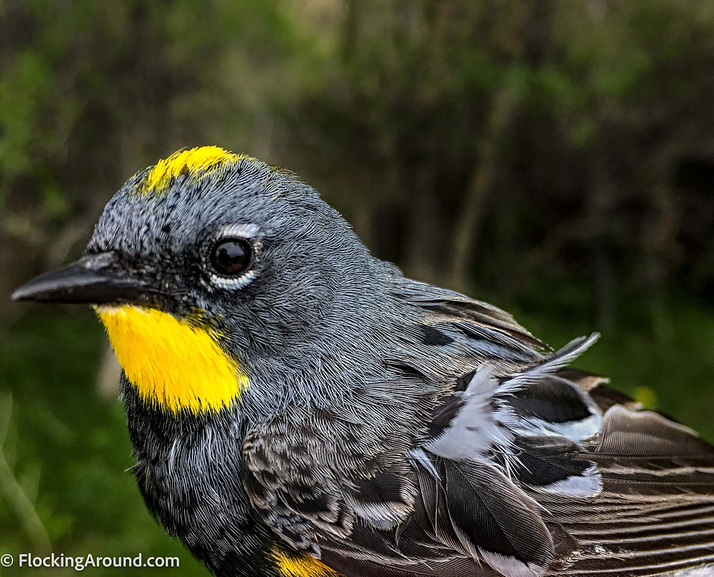Vibrant yellow throat of an Audubon's Yellow-rumped Warbler