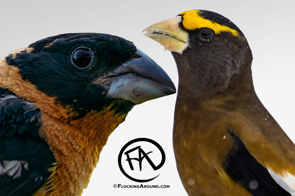 Black-headed Grosbeak and Evening Grosbeak