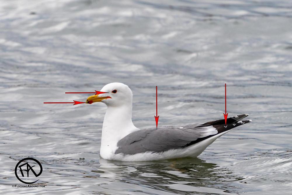 California Gull identification tips