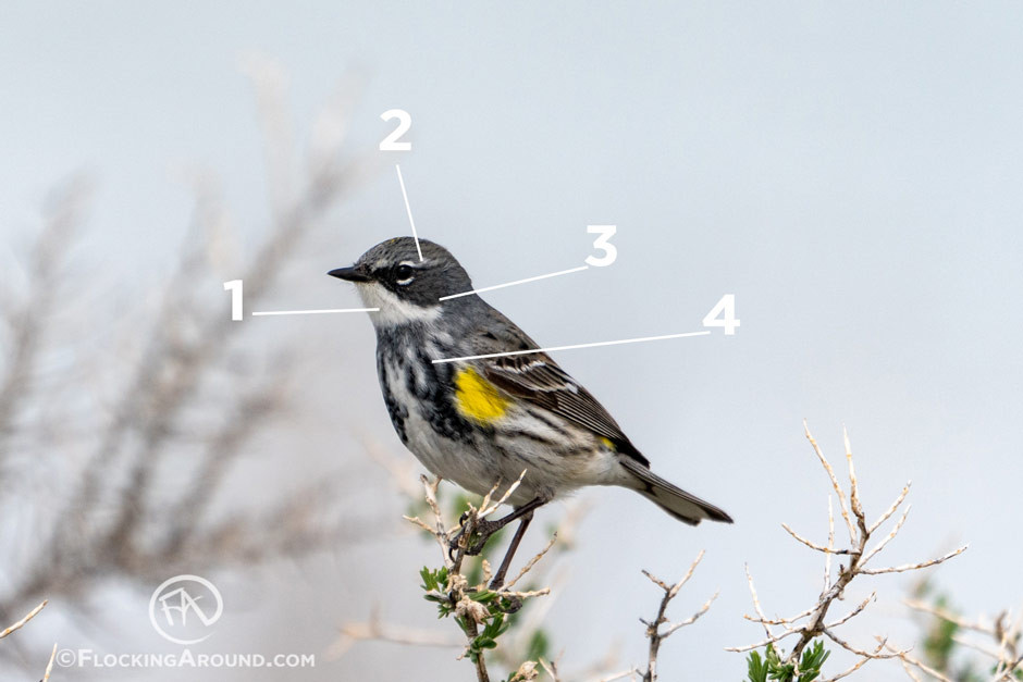 Myrtle Yellow-rumped Warbler (Second Year Male)