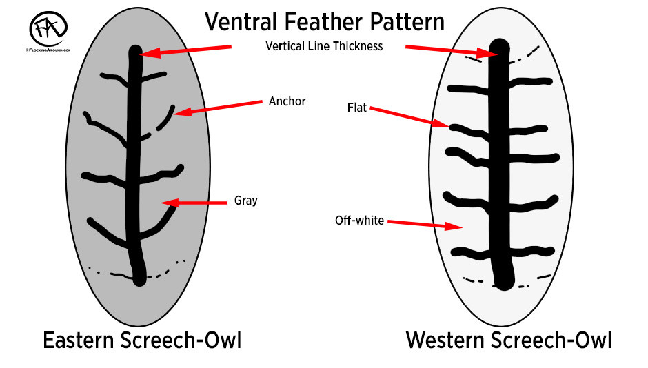 Some Eastern Screech-Owl will show a darker base color, and some Western Screech-Owl will show a lighter base color.
