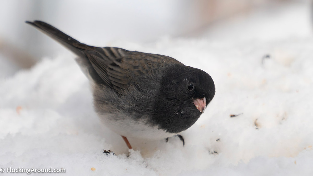 A Cassiar Junco hunts for birdseed in the snow.