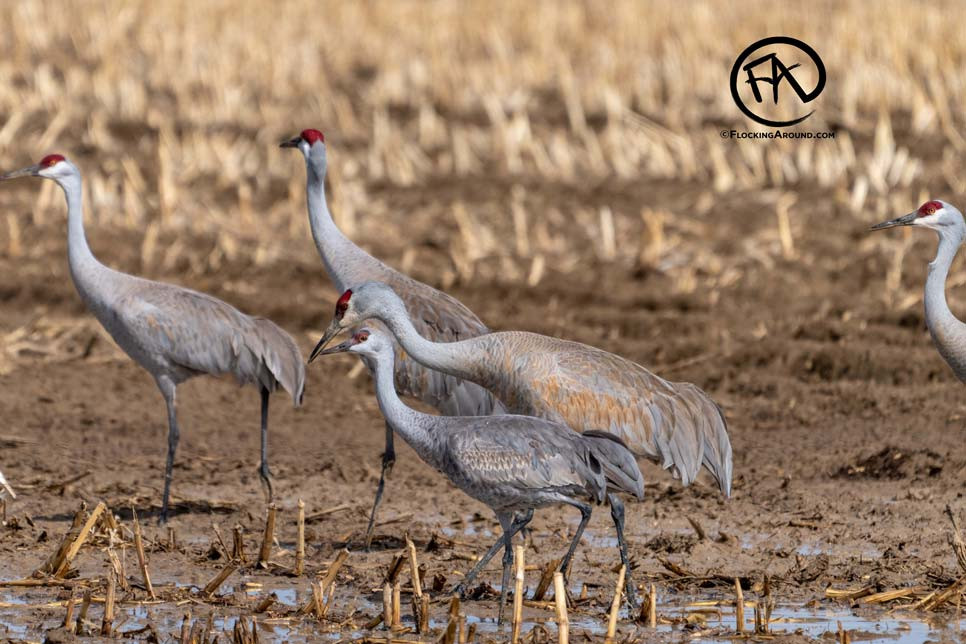 Lesser Sandhill Crane with Greater Sandhill Crane
