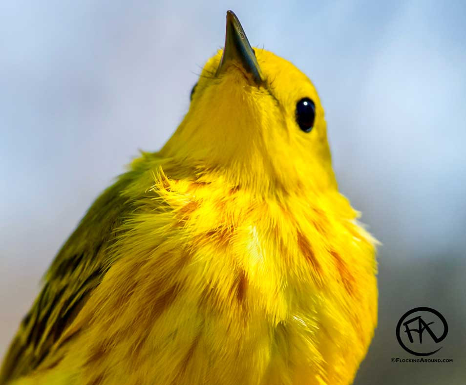 Yellow Warbler in Wyoming