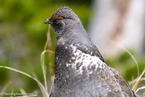 Dusky Grouse showing nictitating membrane