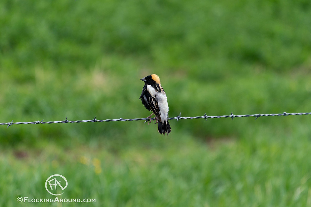 A Bobolink sings from a fence.