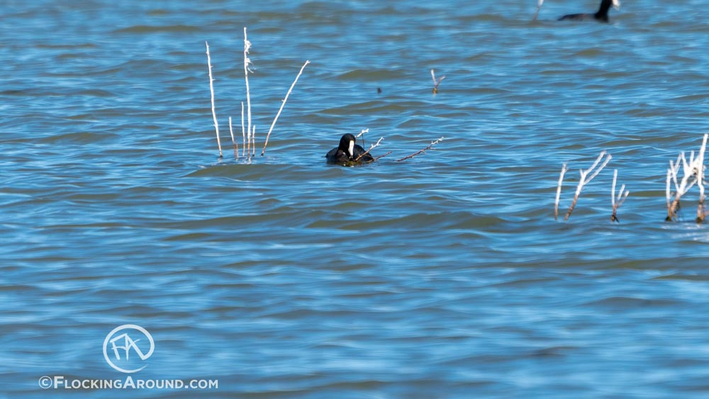 An American Coot with a white shield
